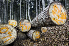 Sawn logs in a forest Royalty Free Stock Photos