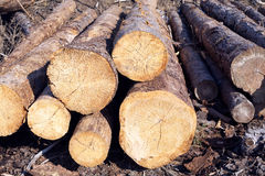 Sawn long pine logs lies on a ground Royalty Free Stock Photo