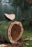 Sawn spruce tree in the forest. Sawn big spruce tree in the forest with cross section with yellow wood and wedge of a tree in the shape of the moon Stock Photography