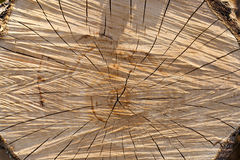 The sawn tree Stock Images