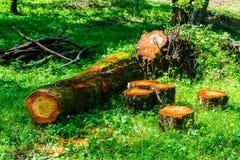 Sawn tree trunk Royalty Free Stock Photo
