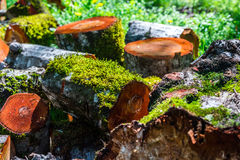 Sawn tree trunk Royalty Free Stock Image