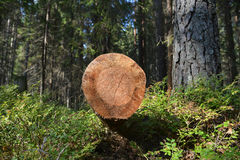 The sawn tree Stock Photography