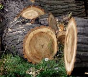 Sawn trunks of trees Stock Photography