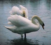2 sawns на озере Стоковые Фото