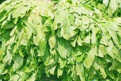 Sawtooth coriander, eryngium foetidum Royalty Free Stock Images