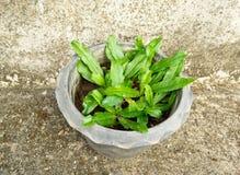 Sawtooth Coriander in pot Stock Image