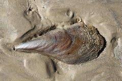 Sawtooth pen shell on beach. Sawtooth pen shell on brown sand Texas beach Stock Photo