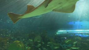 A sawtooth shark swims with fish stock video footage