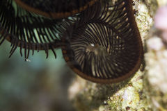 Sawtoothed feather star detail Stock Image