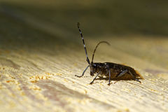 Sawyer beetle Stock Photography