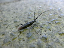 Sawyer beetle. Stock Images