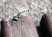 Sawyer beetle - Rosalia alpina Stock Photos