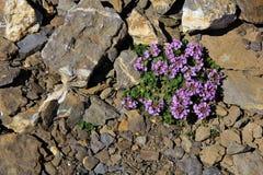 Saxífraga de la montaña púrpura que crece en la altitud de los 3000m imagen de archivo