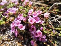 Saxífraga de la montaña púrpura, subsp del oppositifolia del Saxifraga Oppositifolia imagenes de archivo