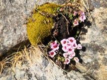 Saxífraga de la montaña púrpura, subsp del oppositifolia del Saxifraga Oppositifolia fotos de archivo