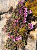 Saxífraga de la montaña púrpura, subsp del oppositifolia del Saxifraga Oppositifolia imagen de archivo