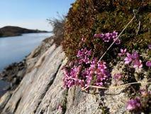 Saxífraga de la montaña púrpura, subsp del oppositifolia del Saxifraga Oppositifolia foto de archivo