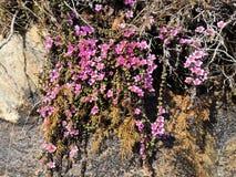 Saxífraga de la montaña púrpura, subsp del oppositifolia del Saxifraga Oppositifolia imagen de archivo libre de regalías