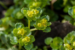 Saxífraga dourada oposto-com folhas do retrato da planta fotografia de stock royalty free