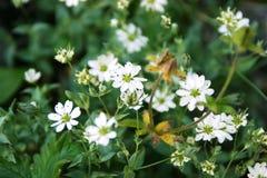 Saxífraga redondo-con hojas del rotundifolia del Saxifraga fotos de archivo libres de regalías