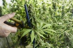 Sax som klipper marijuanabladet från cannabisväxten på den inomhus lantgården Royaltyfria Bilder