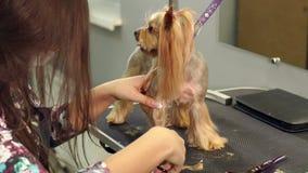Sax Yorkshire Terrier för snitt för klinik för närbilddoktor veterinär- lager videofilmer