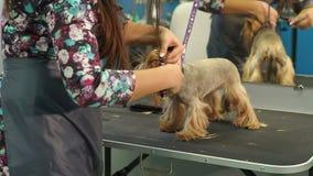Sax Yorkshire Terrier för snitt för klinik för närbilddoktor veterinär- arkivfilmer