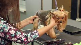 Sax Yorkshire Terrier för snitt för klinik för närbilddoktor veterinär- stock video