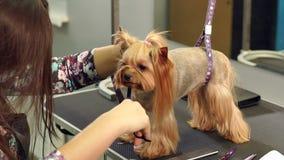 Sax Yorkshire Terrier f?r snitt f?r klinik f?r n?rbilddoktor veterin?r- stock video