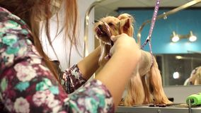 Sax Yorkshire Terrier f?r snitt f?r klinik f?r n?rbilddoktor veterin?r- lager videofilmer