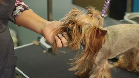 Sax Yorkshire Terrier f?r snitt f?r klinik f?r n?rbilddoktor veterin?r- arkivfilmer