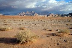 Saxaul i den Wadi Rum öknen arkivbilder