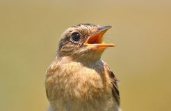 Saxicola rubetra. Bird close-up. Saxicola rubetra. Chick sits with an open beak close-up Royalty Free Stock Photo