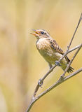 Saxicola rubetra. The bird sits on a dry branch. Saxicola rubetra. A little bird sitting on a dry branch Stock Photo