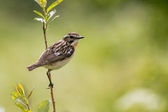 Saxicola rubetra. Male Whinchat or Saxicola rubetra in summer in Estonia Royalty Free Stock Image