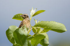 Saxicola rubetra. Or whinchat on a treetop Royalty Free Stock Photo