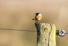Stonechat, Saxicola rubicola. European Stonechat stock photo