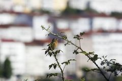 Saxicola torquatus. In a city with buildings in background Royalty Free Stock Photos