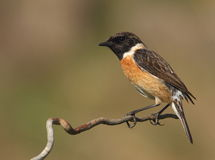 Saxicola torquatus common stonechat. Male perched on a branch with a green background Stock Images