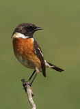 Saxicola torquatus common stonechat. Male perched on a branch with a green background Royalty Free Stock Image