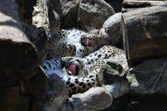 Saxicolor del pardus del Panthera de los leopardos que juega entre las rocas foto de archivo libre de regalías