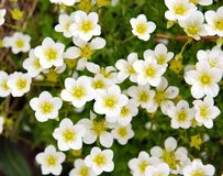 Saxifraga Stock Photography