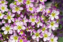 Saxifraga arendsii ornamental mountain flower, pink flowering small ground plant. Group of rockfoils, flower texture Stock Image
