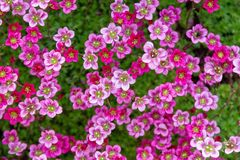 Saxifraga arendsii `Purple Robe gardens and landscaping. Saxifraga arendsii pink flowers background. flowers and succulents for rock gardens and landscaping. top stock image