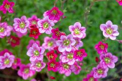 Saxifraga arendsii `Purple Robe. saxifrage bloom. Saxifraga arendsii pink flowers background. flowers and succulents for rock gardens and landscaping. top view royalty free stock photo