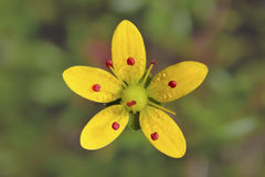 Saxifraga brunonis,Yellow Flower in Vellay of Flowers , India Stock Image
