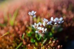Saxifraga cernua - Drooping saxifrage. Saxifraga cernua, drooping saxifrage Svalbard flora. Longyearbyen, Svalbard august 2017 Royalty Free Stock Image