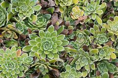 Saxifraga  Stock Photos