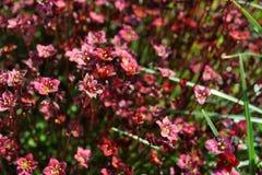 Saxifraga kwiaty Obraz Royalty Free